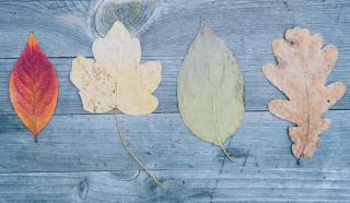 Four differently shaped leaves